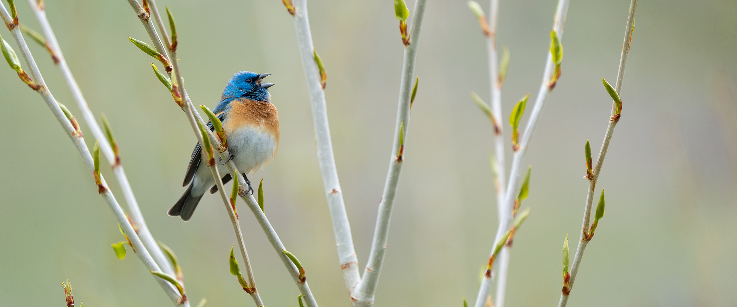 Lazuli Bunting sings from a branch.